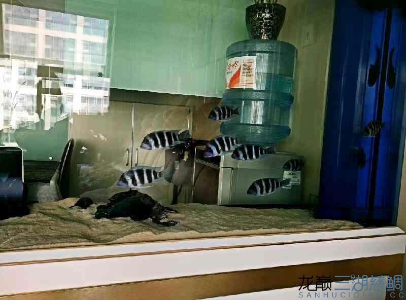 【西安泰金罗汉鱼专卖】萨伊入缸20小时纪念 西安观赏鱼信息 西安博特第3张