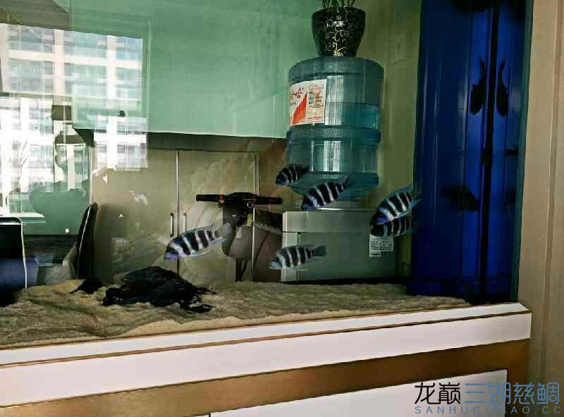 【西安泰金罗汉鱼专卖】萨伊入缸20小时纪念 西安观赏鱼信息 西安博特第4张