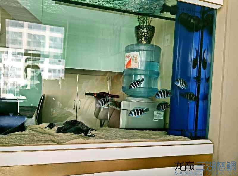 【西安泰金罗汉鱼专卖】萨伊入缸20小时纪念 西安观赏鱼信息 西安博特第5张