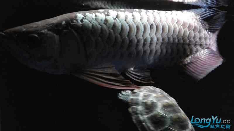 【西安泰虎】不吃泥鳅就吃虾见泥鳅就呕吐 西安龙鱼论坛 西安博特第1张