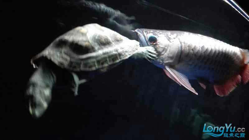 【西安泰虎】不吃泥鳅就吃虾见泥鳅就呕吐 西安龙鱼论坛 西安博特第2张