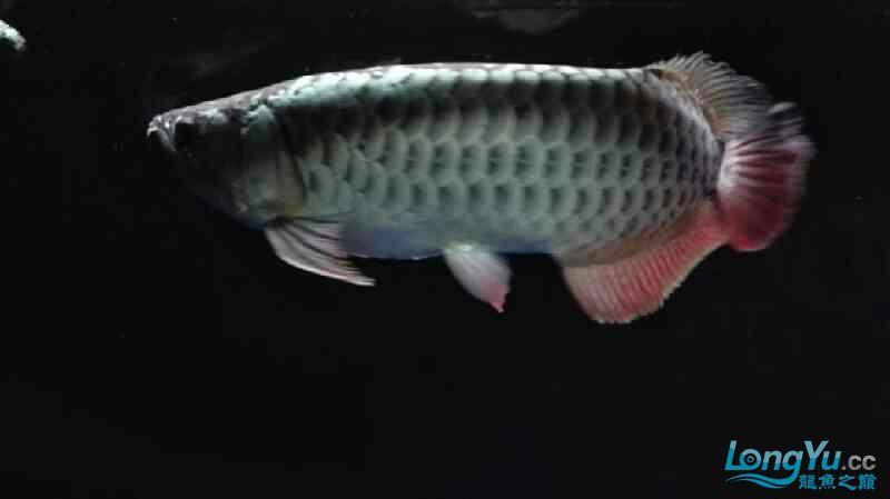 【西安泰虎】不吃泥鳅就吃虾见泥鳅就呕吐 西安龙鱼论坛 西安博特第7张