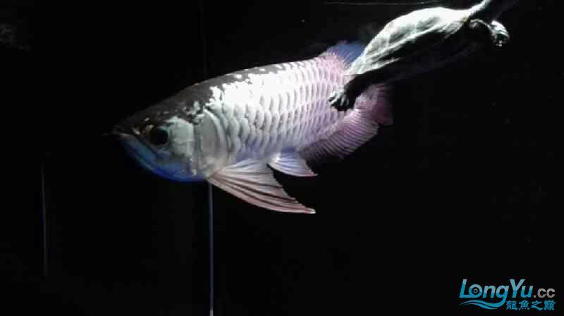 【西安泰虎】不吃泥鳅就吃虾见泥鳅就呕吐 西安龙鱼论坛 西安博特第6张
