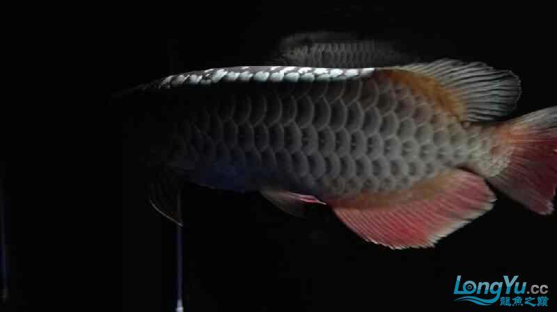 【西安泰虎】不吃泥鳅就吃虾见泥鳅就呕吐 西安龙鱼论坛 西安博特第5张