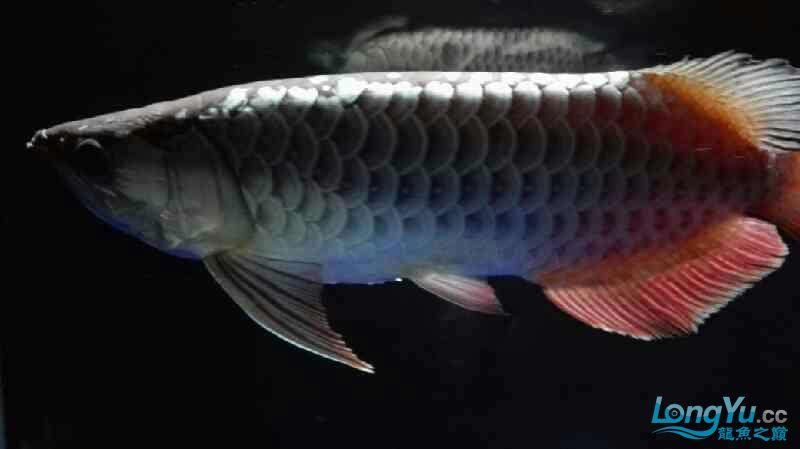 【西安泰虎】不吃泥鳅就吃虾见泥鳅就呕吐 西安龙鱼论坛 西安博特第8张