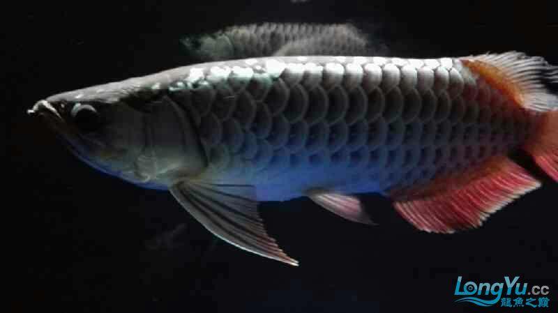 【西安泰虎】不吃泥鳅就吃虾见泥鳅就呕吐 西安龙鱼论坛 西安博特第9张