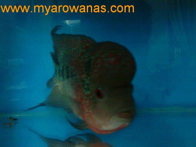 【西安泰虎】不吃泥鳅就吃虾见泥鳅就呕吐 西安龙鱼论坛 西安博特第10张
