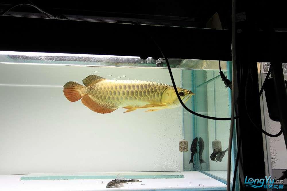【西安最大鱼缸批发市场】金龙就要这个颜色西安福满钻鱼批发市场 西安观赏鱼信息 西安博特第1张