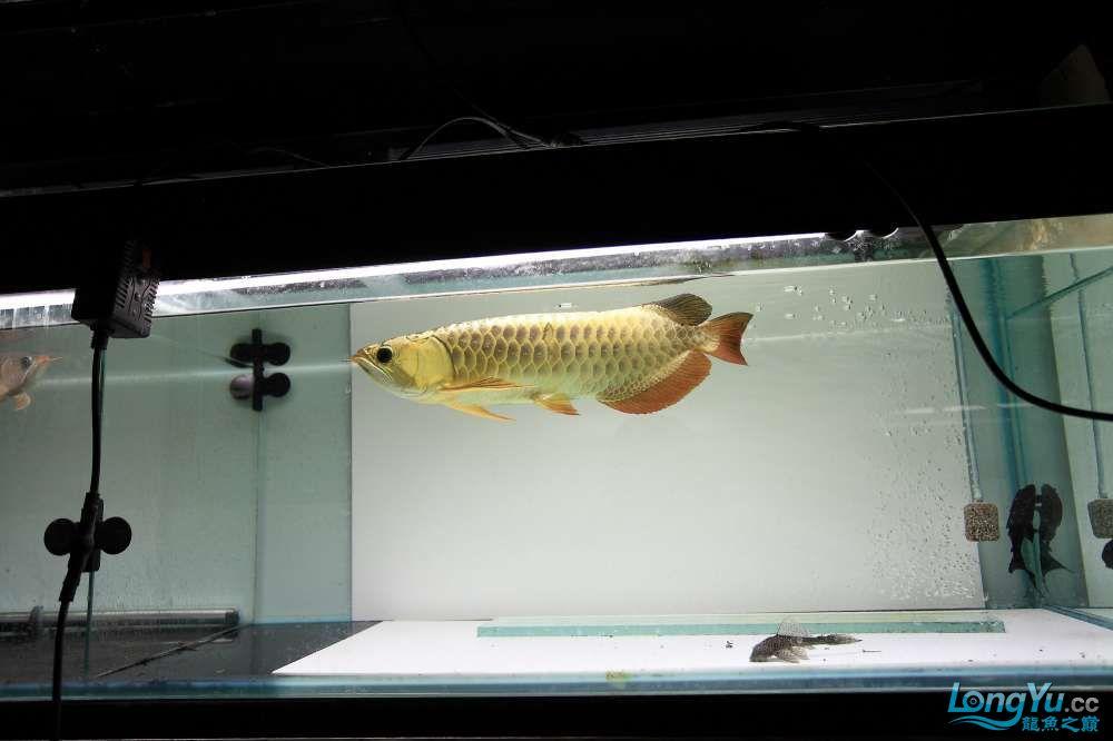 【西安最大鱼缸批发市场】金龙就要这个颜色西安福满钻鱼批发市场 西安观赏鱼信息 西安博特第3张