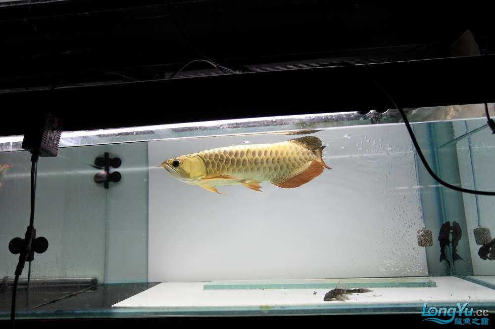 【西安最大鱼缸批发市场】金龙就要这个颜色西安福满钻鱼批发市场 西安观赏鱼信息 西安博特第2张