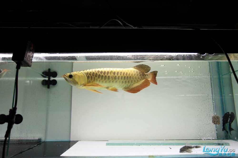 【西安最大鱼缸批发市场】金龙就要这个颜色西安福满钻鱼批发市场 西安观赏鱼信息 西安博特第4张