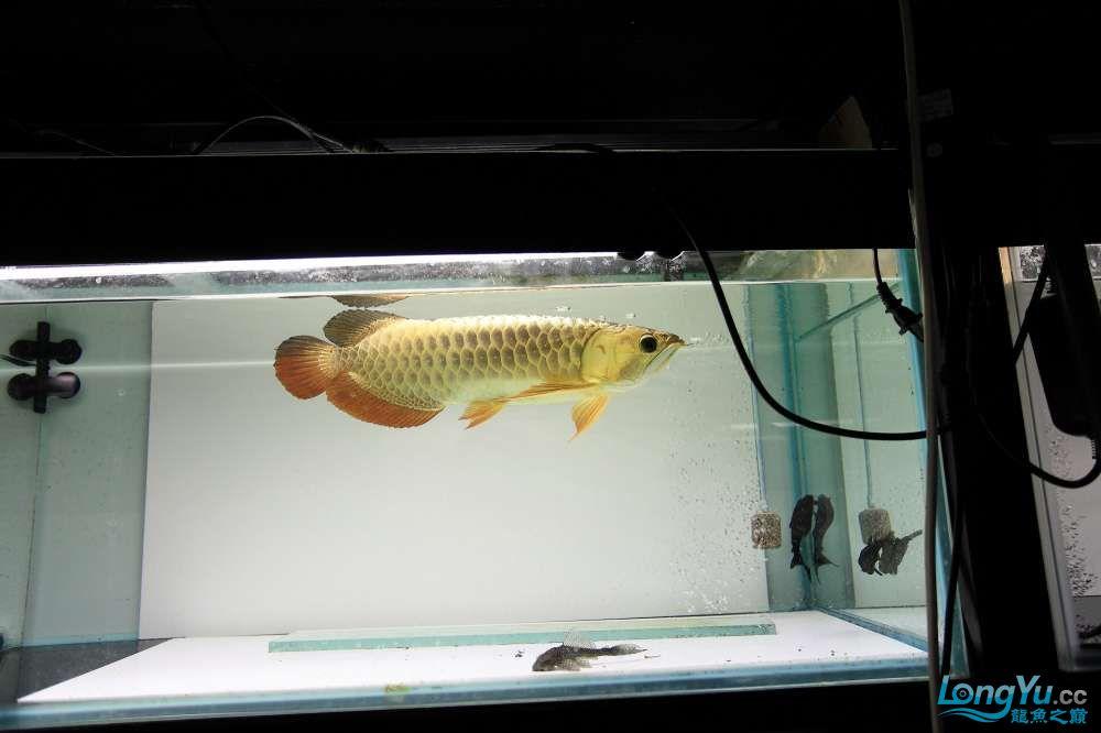 【西安最大鱼缸批发市场】金龙就要这个颜色西安福满钻鱼批发市场 西安观赏鱼信息 西安博特第6张