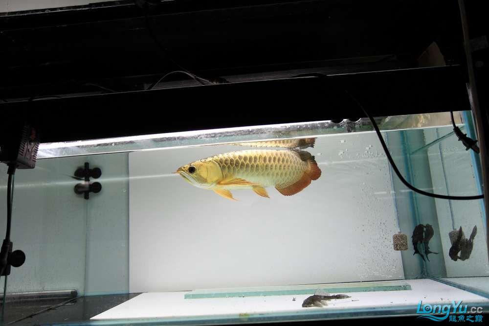 【西安最大鱼缸批发市场】金龙就要这个颜色西安福满钻鱼批发市场 西安观赏鱼信息 西安博特第7张