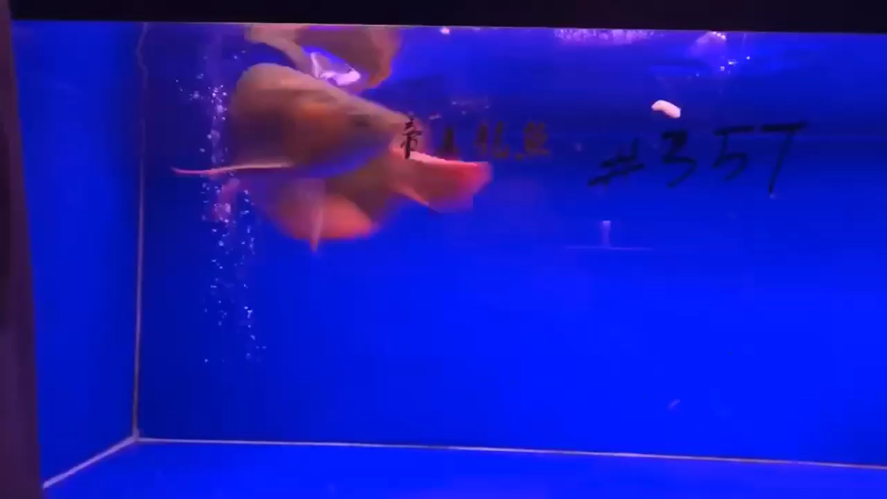 好好养西安金龙银龙游戏机价格鱼养好龙鱼 西安观赏鱼信息 西安博特第1张