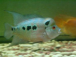 龙鱼常见疾病虎苗第八天虎鱼龙巅 西安龙鱼论坛 西安博特第2张