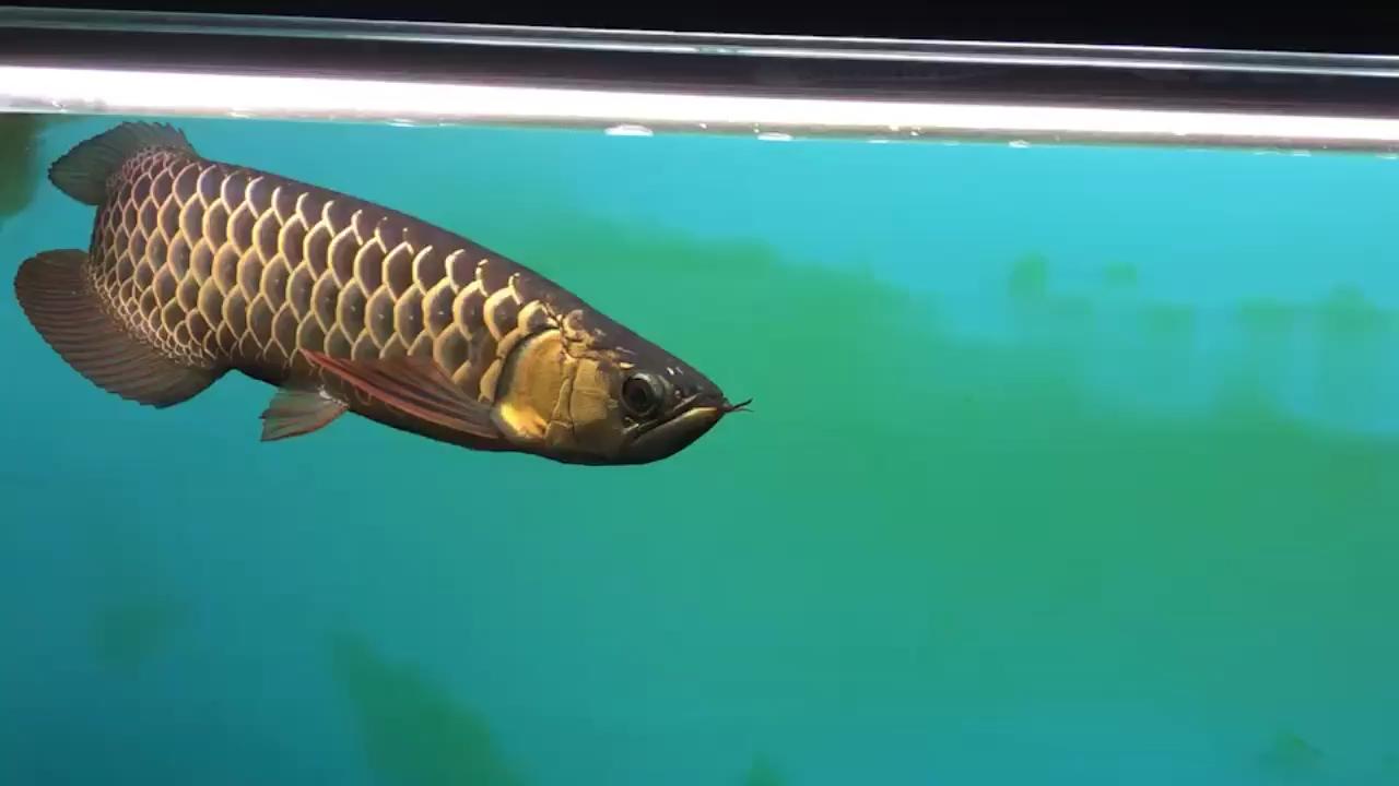 从25养到35的变化 西安龙鱼论坛 西安博特第1张
