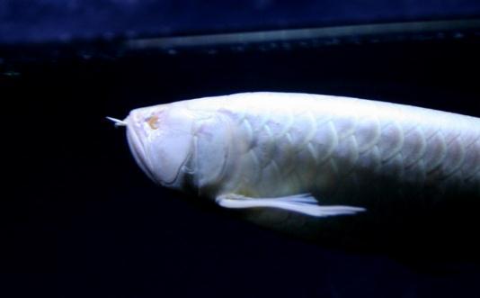 求关注求关注龙鱼 西安龙鱼论坛 西安博特第2张