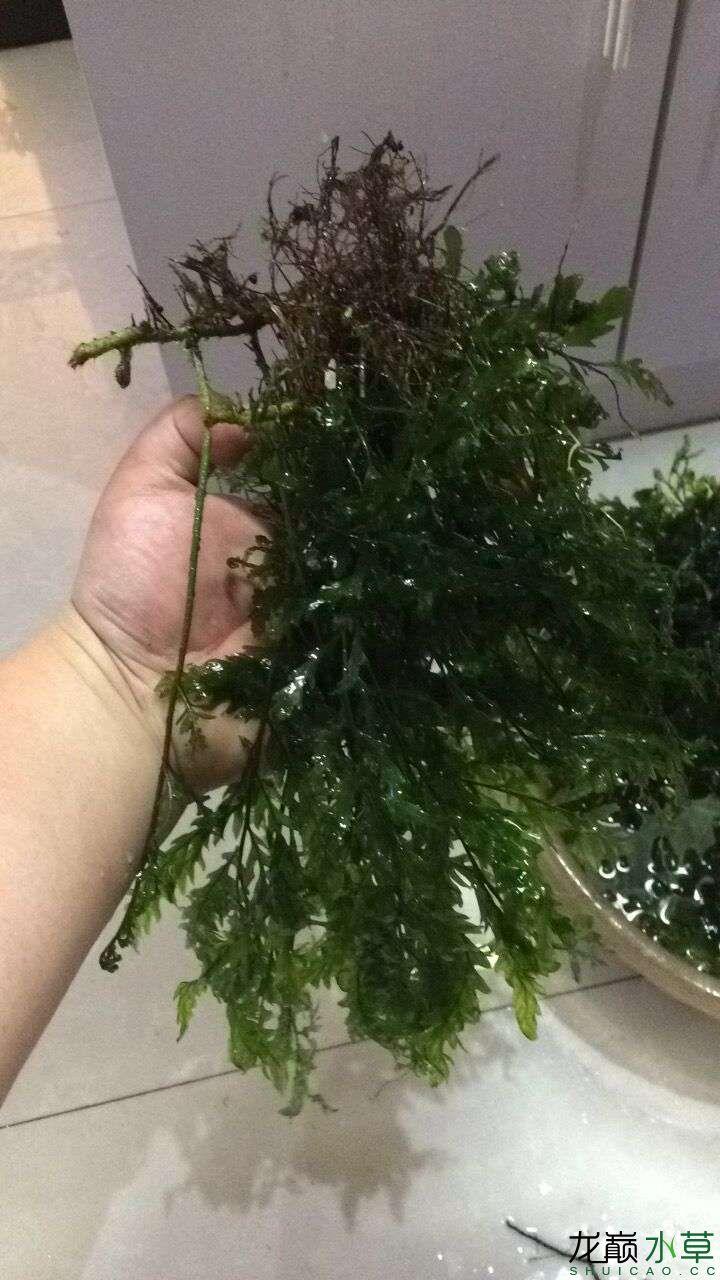 出售自养黑木蕨 西安龙鱼论坛 西安博特第3张