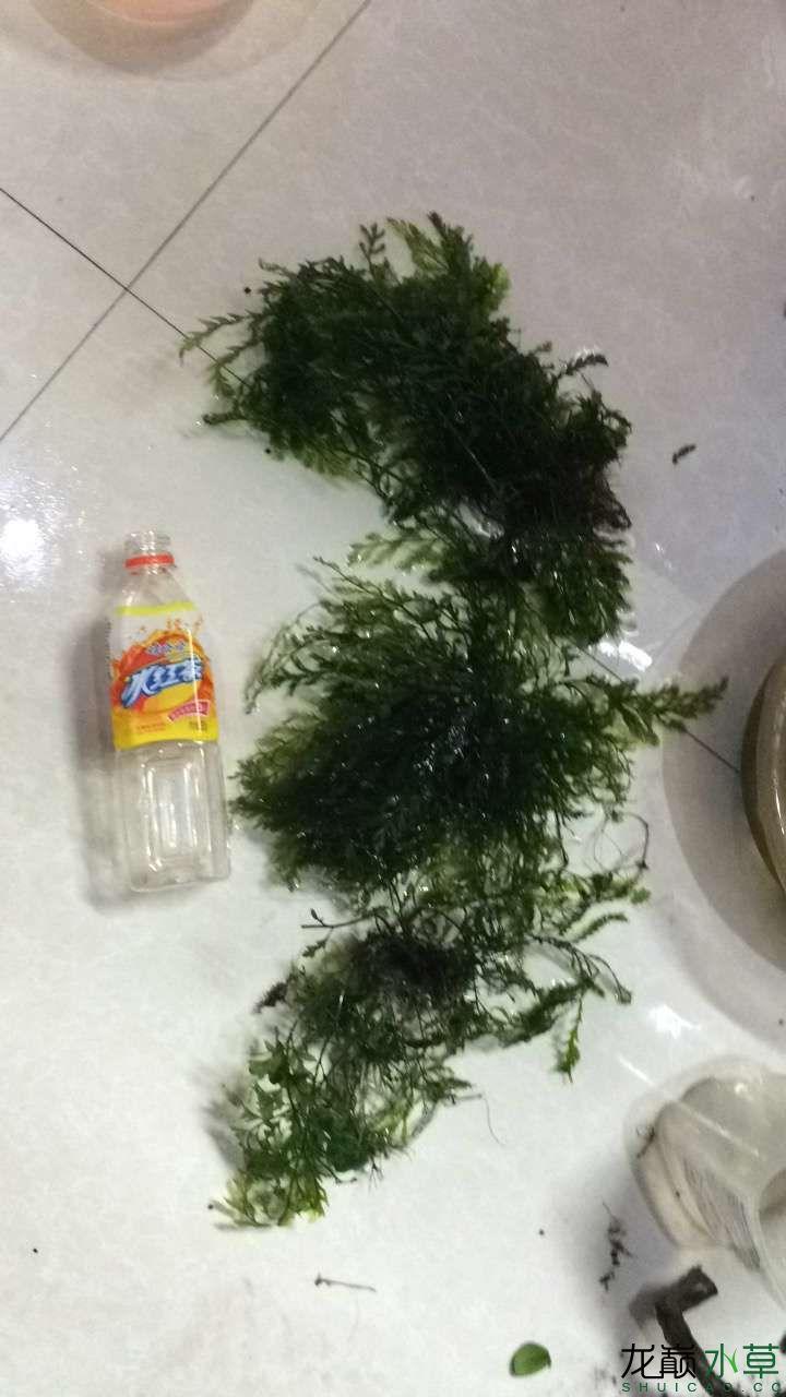 出售自养黑木蕨 西安龙鱼论坛 西安博特第4张