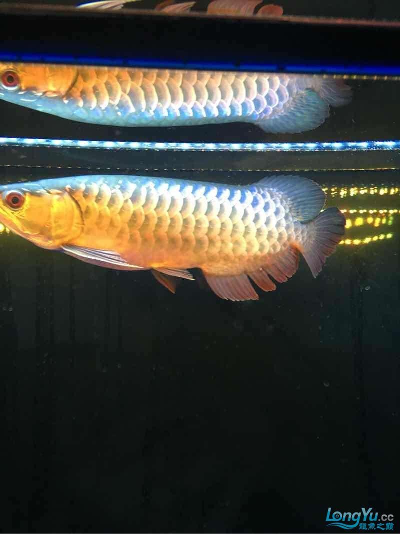 西安伊巴卡鱼龙现在30公分为了增加金质换了黑背景~黄灯这样可否? 西安观赏鱼信息 西安博特第3张