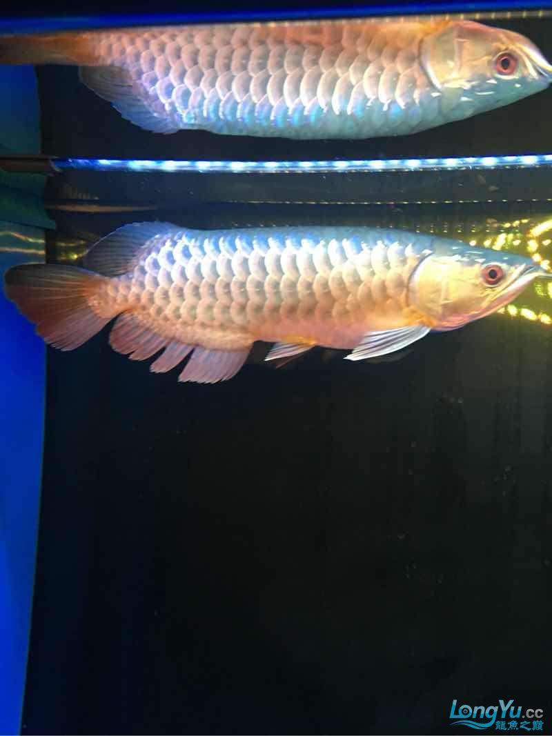 西安伊巴卡鱼龙现在30公分为了增加金质换了黑背景~黄灯这样可否? 西安观赏鱼信息 西安博特第2张