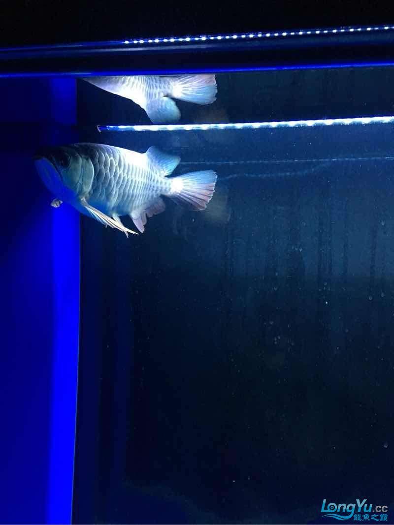 西安伊巴卡鱼龙现在30公分为了增加金质换了黑背景~黄灯这样可否? 西安观赏鱼信息 西安博特第1张