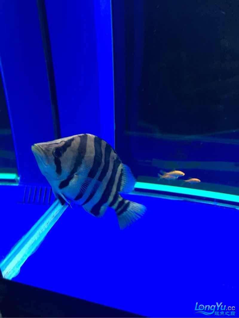 西安伊巴卡鱼龙现在30公分为了增加金质换了黑背景~黄灯这样可否? 西安观赏鱼信息 西安博特第4张