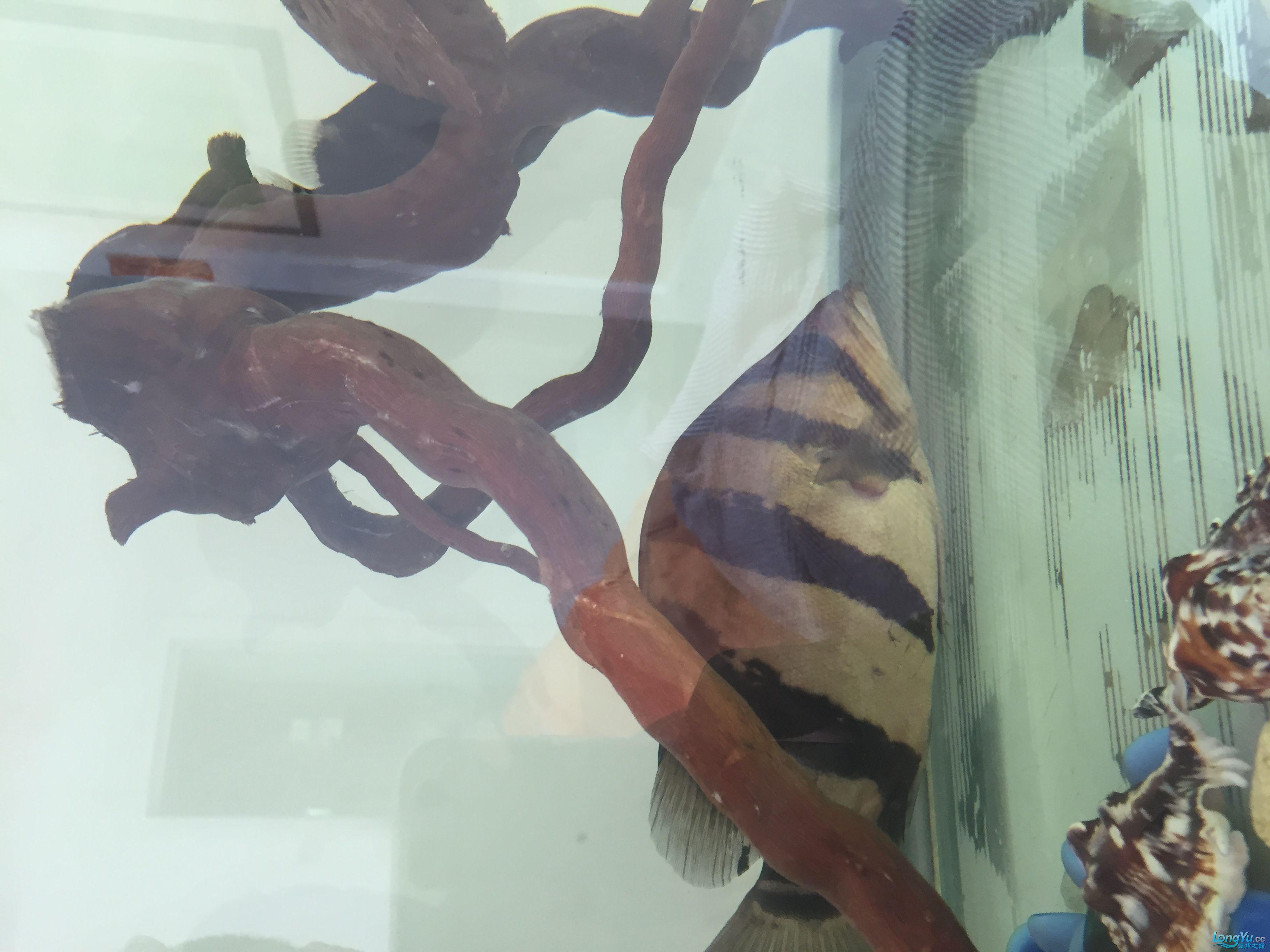 西安黑云鱼好养吗印尼虎长明最简单最粗暴的方法 西安龙鱼论坛 西安博特第2张