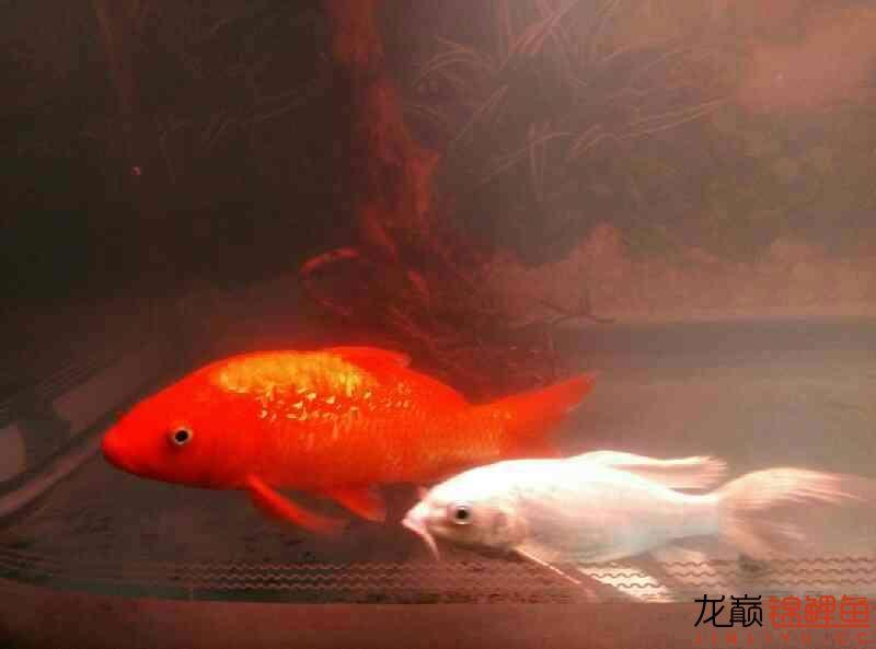火鲤 vs 大金鱼西安鱼缸清洗 西安龙鱼论坛 西安博特第1张