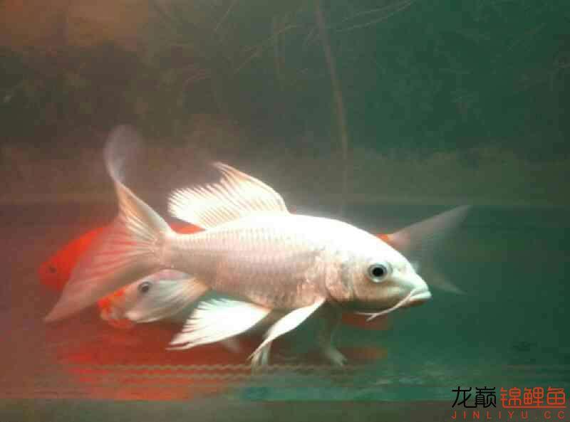火鲤 vs 大金鱼西安鱼缸清洗 西安龙鱼论坛 西安博特第3张