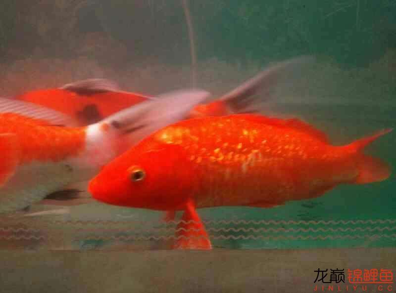 火鲤 vs 大金鱼西安鱼缸清洗 西安龙鱼论坛 西安博特第4张