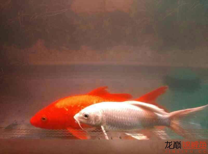 火鲤 vs 大金鱼西安鱼缸清洗 西安龙鱼论坛 西安博特第2张
