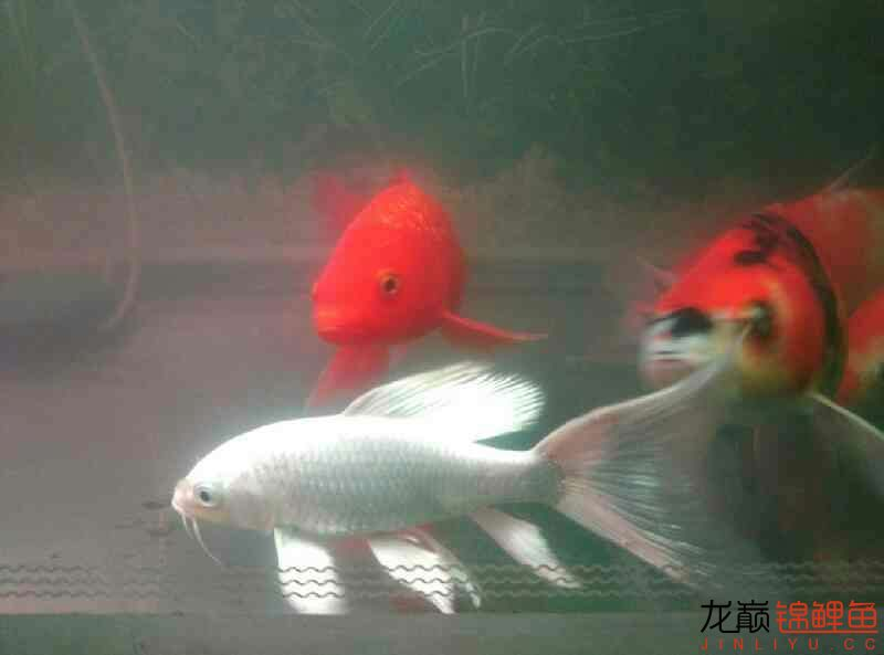 火鲤 vs 大金鱼西安鱼缸清洗 西安龙鱼论坛 西安博特第7张