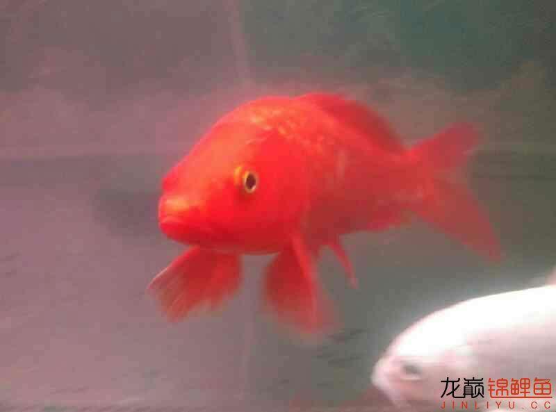 火鲤 vs 大金鱼西安鱼缸清洗 西安龙鱼论坛 西安博特第6张