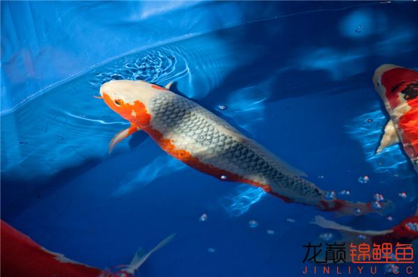 能看到这么好的鱼也是一件开心的事儿 西安观赏鱼信息 西安博特第4张