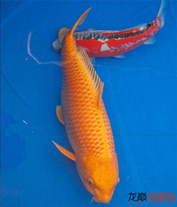 能看到这么好的鱼也是一件开心的事儿 西安观赏鱼信息 西安博特第6张