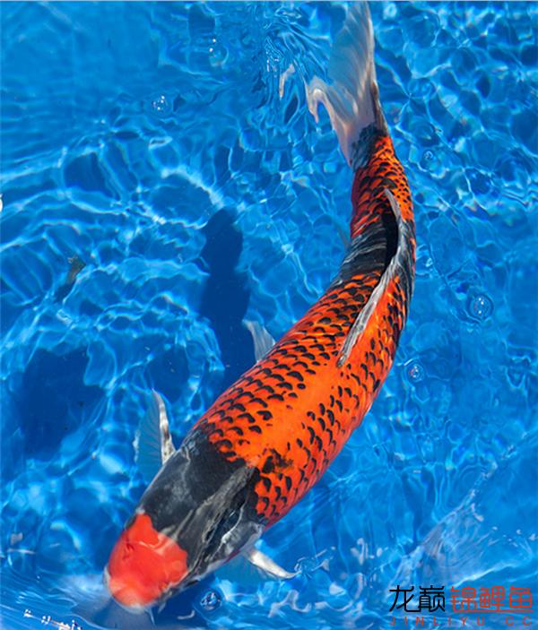 能看到这么好的鱼也是一件开心的事儿 西安观赏鱼信息 西安博特第7张