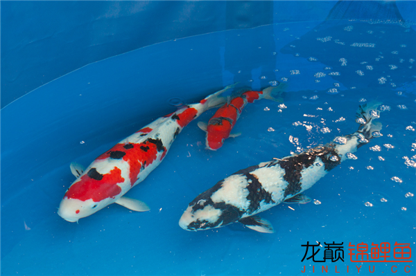能看到这么好的鱼也是一件开心的事儿 西安观赏鱼信息 西安博特第8张
