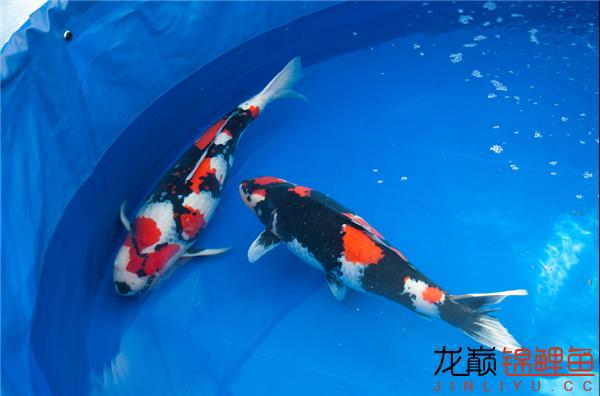 能看到这么好的鱼也是一件开心的事儿 西安观赏鱼信息 西安博特第9张