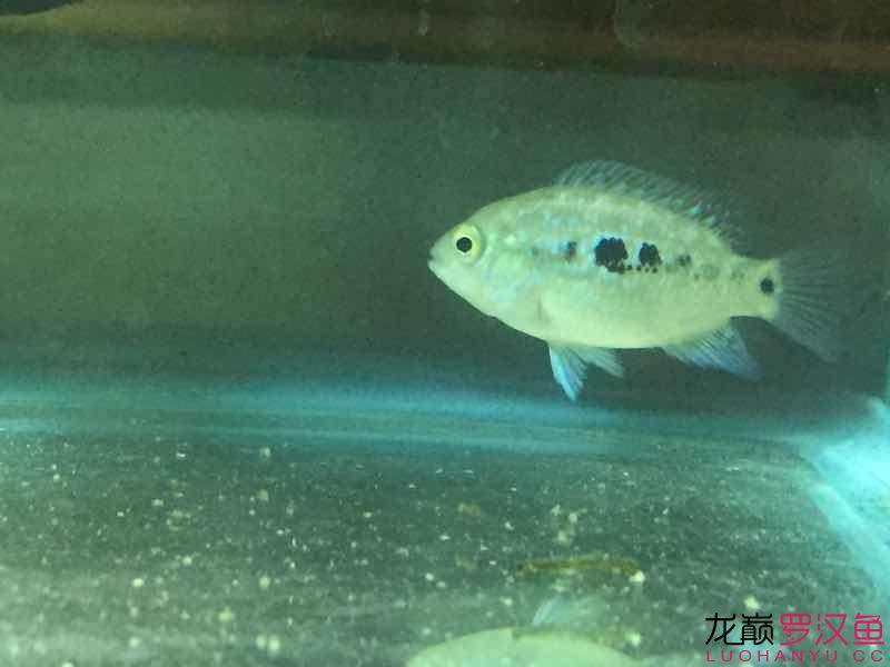 能看出什么苗子么?【西安银龙苗】 西安观赏鱼信息 西安博特第4张
