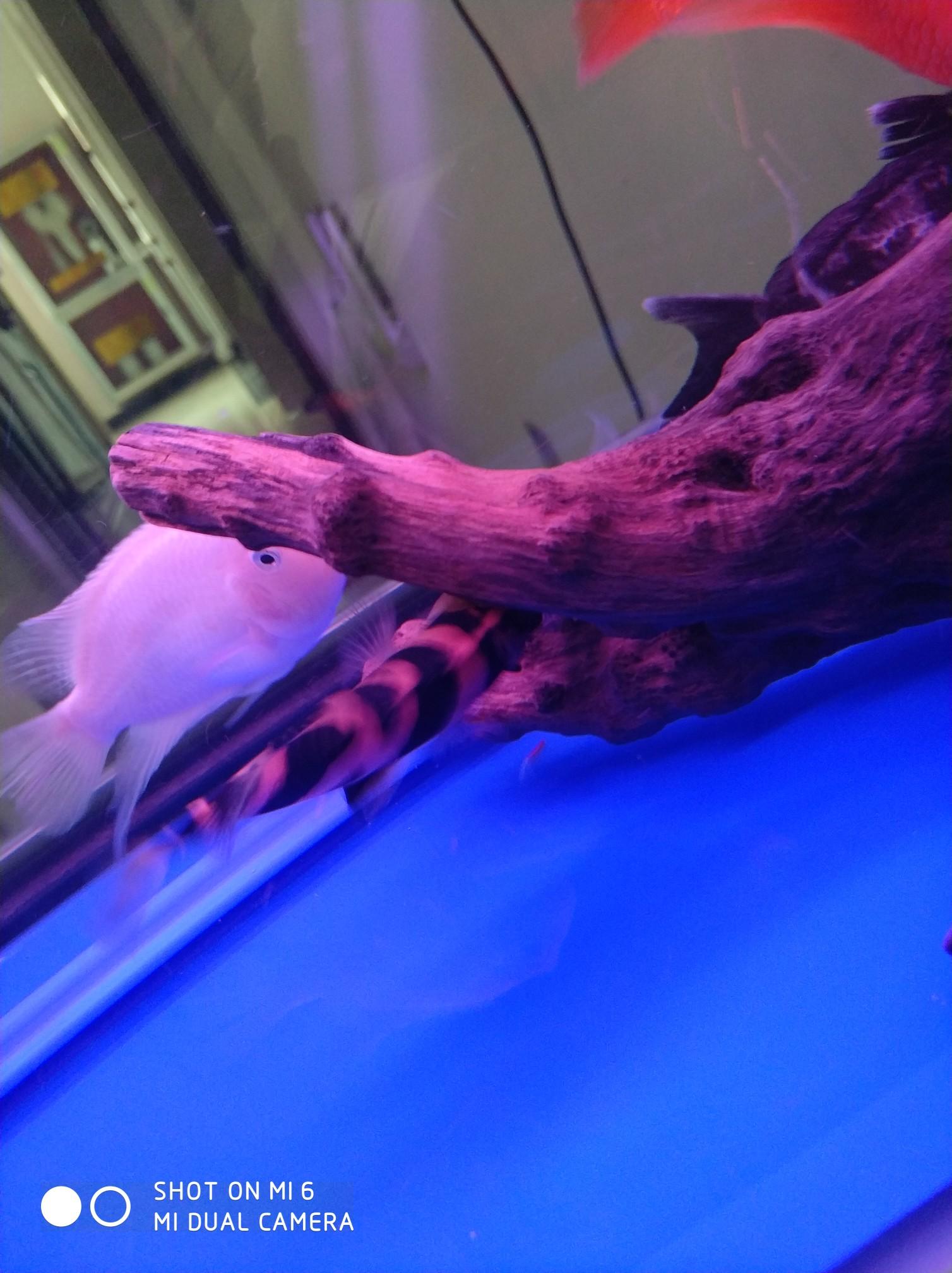 力害了我的小虎 西安龙鱼论坛 西安博特第3张