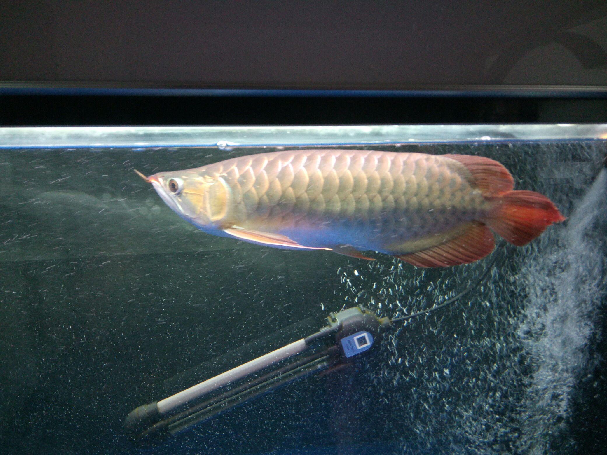 鱼【西安沉木批发】缸气泡 西安观赏鱼信息 西安博特第1张