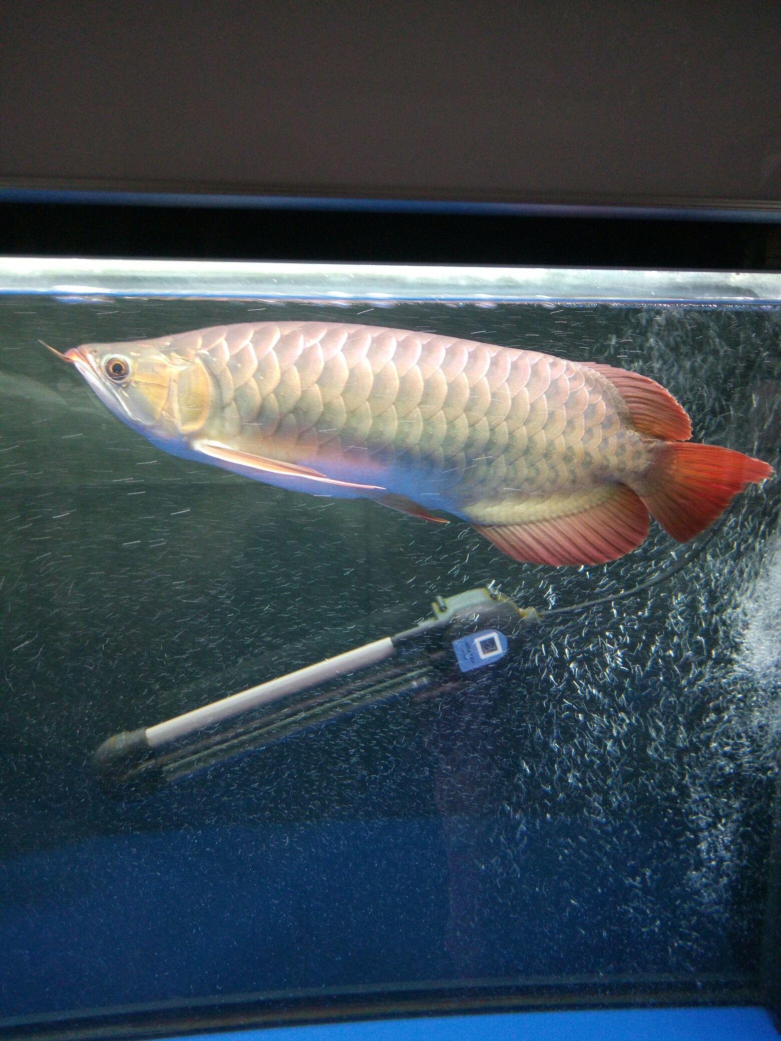 鱼【西安沉木批发】缸气泡 西安观赏鱼信息 西安博特第2张