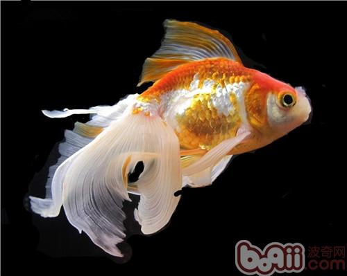 鱼【西安沉木批发】缸气泡 西安观赏鱼信息 西安博特第4张