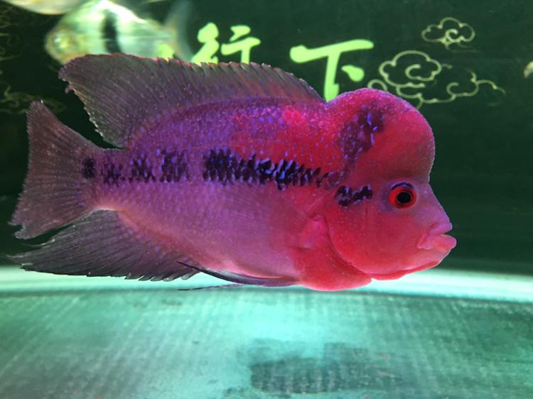 白点病第三天西安龙鱼和什么鱼混养最好 西安龙鱼论坛 西安博特第4张