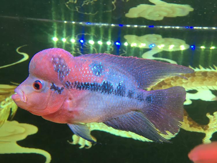 白点病第三天西安龙鱼和什么鱼混养最好 西安龙鱼论坛 西安博特第6张