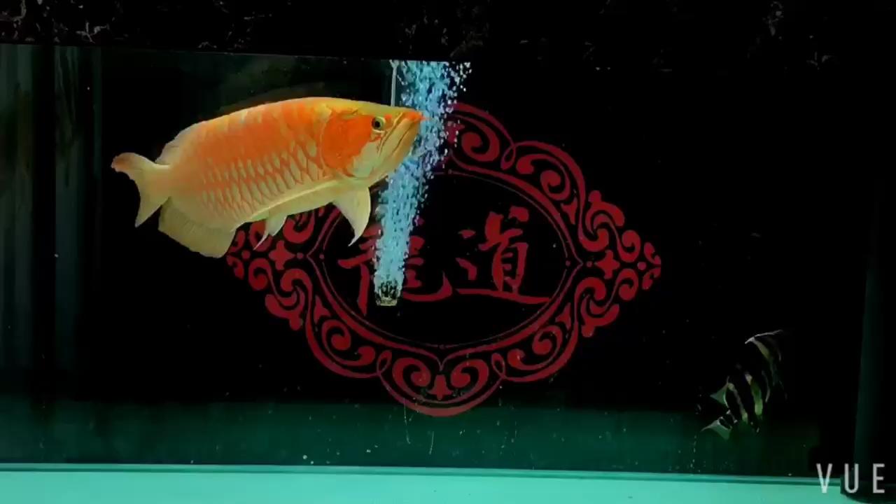 白底的吸引龙鱼龙巅【西安红龙】 西安观赏鱼信息 西安博特第1张