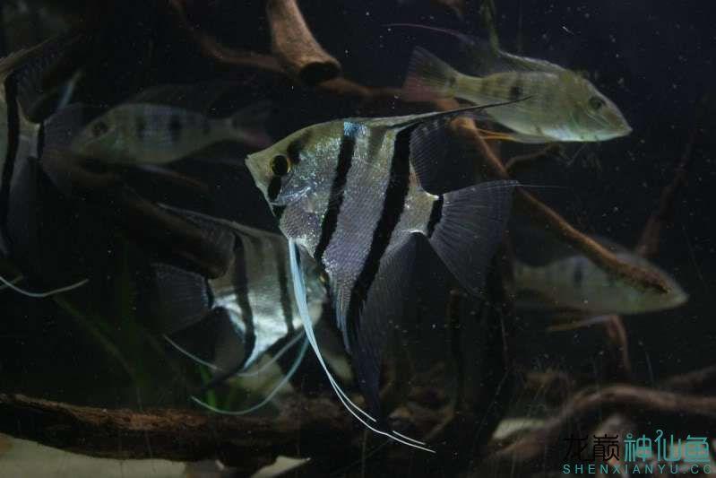 暗色下【西安观赏鱼批发】来几张 西安观赏鱼信息 西安博特第2张