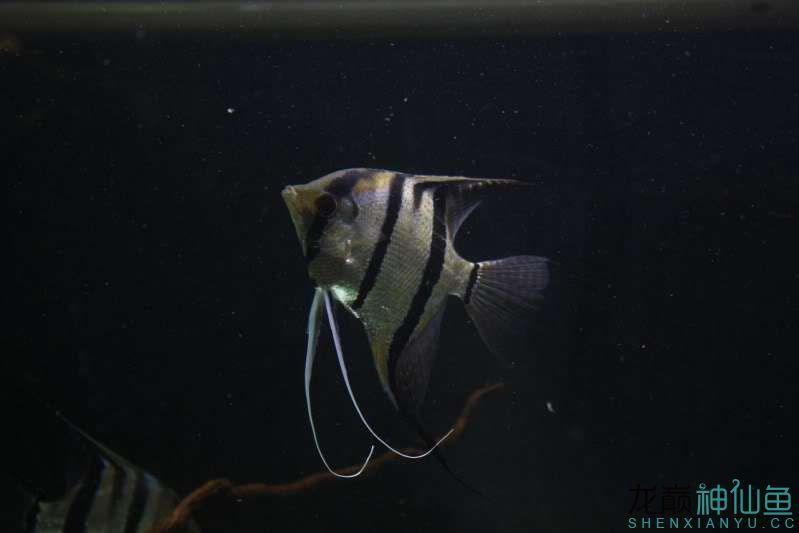 暗色下【西安观赏鱼批发】来几张 西安观赏鱼信息 西安博特第3张