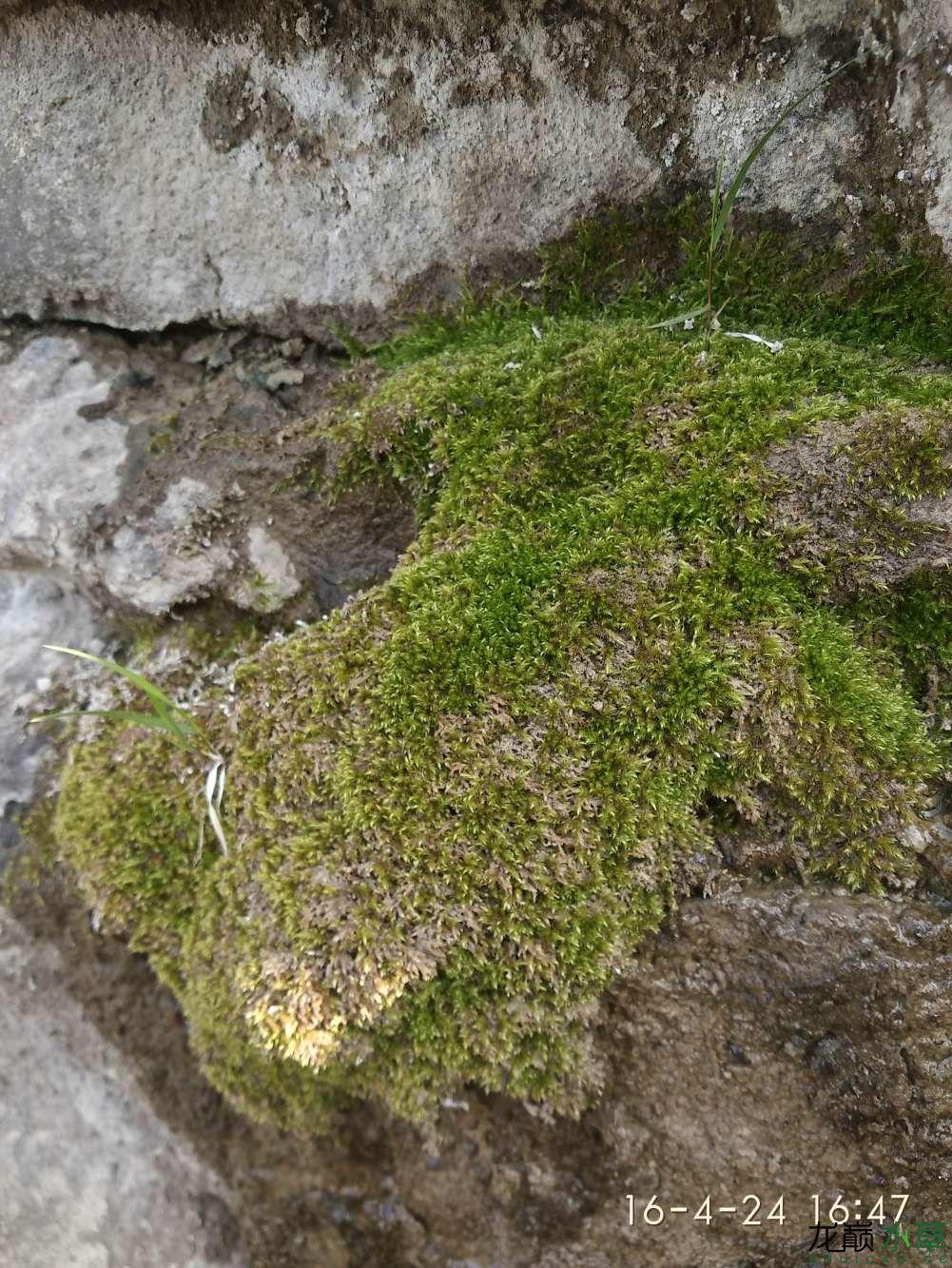 野采苔藓养在盆子里 西安龙鱼论坛 西安博特第3张